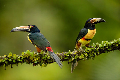 Two Collared Aracari (Pteroglossus torquatus) perched on a high branch in the Costa Rican Rain Forest.
