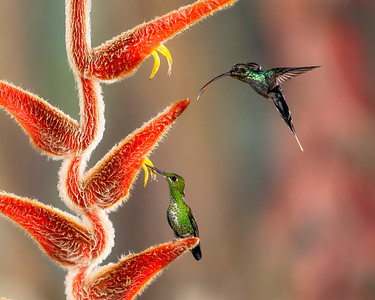 A Green Hermit (Phaethornis guy) and  a green-crowned Brilliant (Heliodoxa jacula) hummingbird feeding from the same plant in Costa Rica