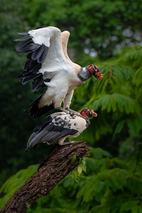 Two King Vultures (Sarcoramphus papa), fighting over the right to perch on my recent trip to the Costa Rican Rain Forest