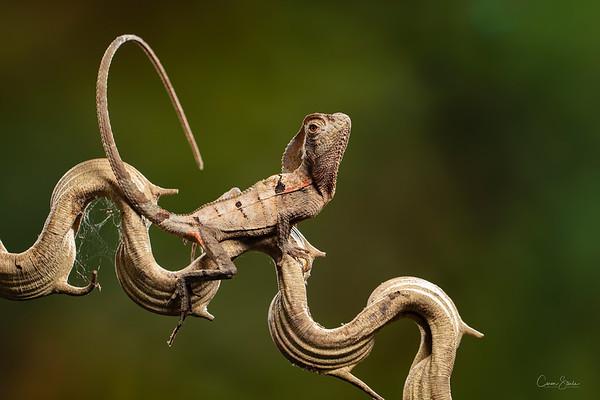 A Casque headed Lizard, (Corytophanes cristatus) in Costa Rica