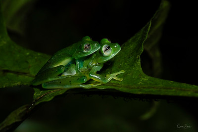 Glass Frogs making whoopee in Costa Rica. These  tiny little frogs are about the size of my thumb nail.