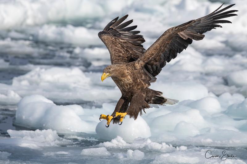 White-tailed eagle (Haliaeetus albicilla) fishing over the sea ice off the coast of Hokkaido
