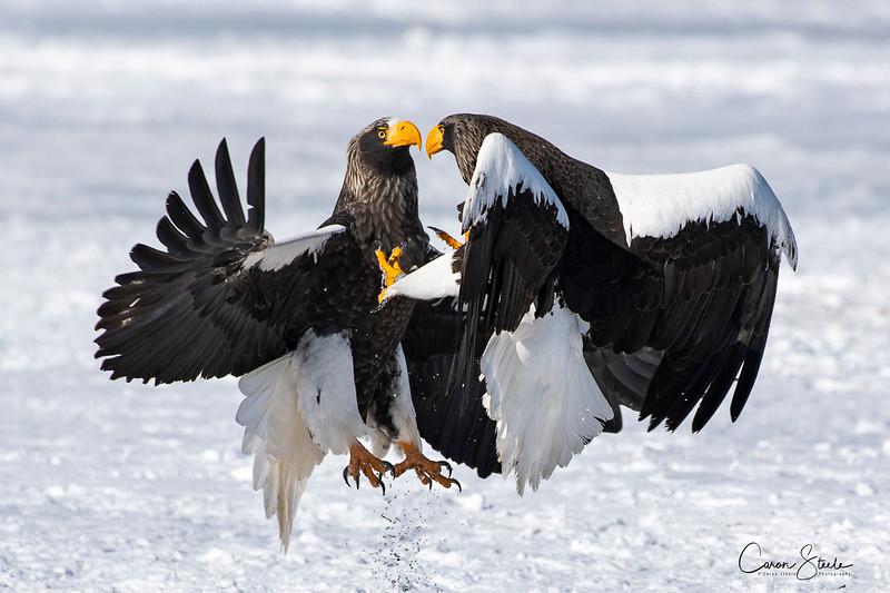 Steller's Sea Eagles batteling over food