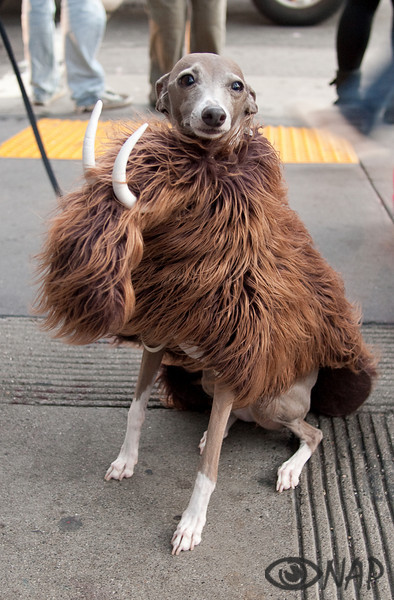 A dog in a costume on Halloween
