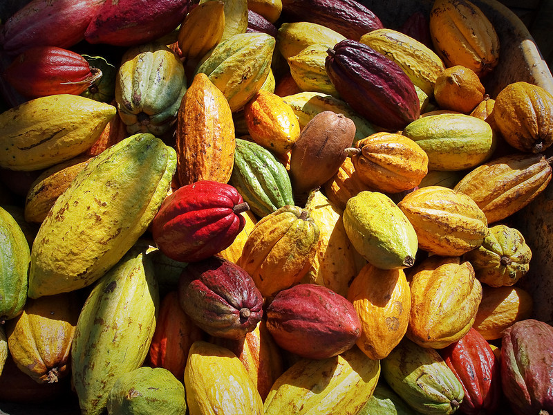 Cacao pods on the Big Island of Hawaii