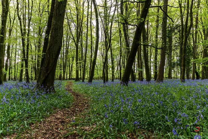04-52 Bluebell Pathway