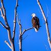 Bald Eagle - Midway Utah