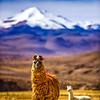 Llama - Bolivia