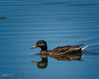 Dusky call duck_8977