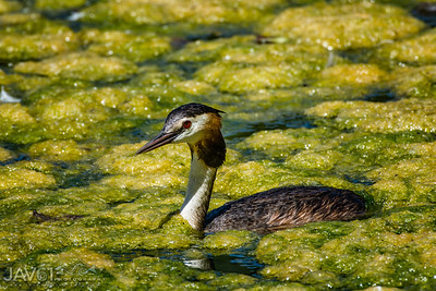 Great crested grebe-9021