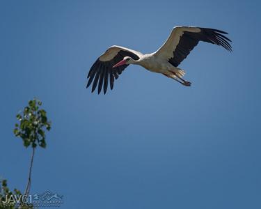 White Stork_9110