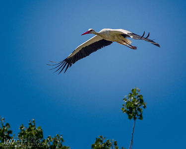 White Stork_9111