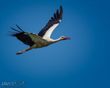 White Stork_8970