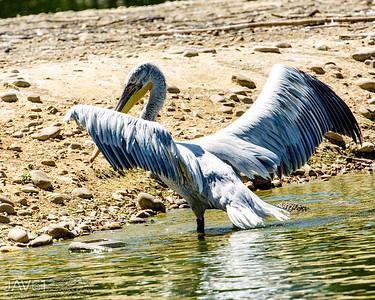 Dalmation pelican-9232
