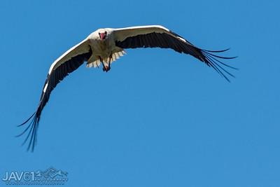 White Stork-9030