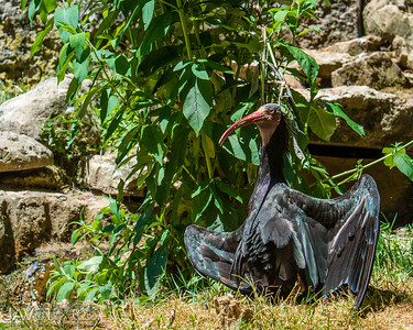 Northern bald ibis-9143