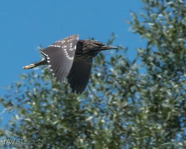 Black-crowned night heron-9106