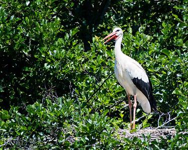 White Stork_8952