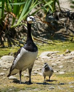 Barnacle Goose-9035