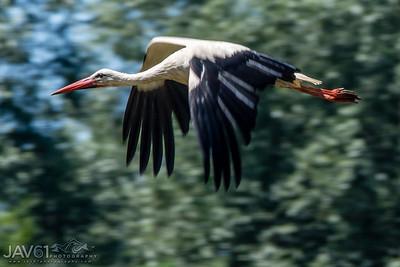 White Stork_9089
