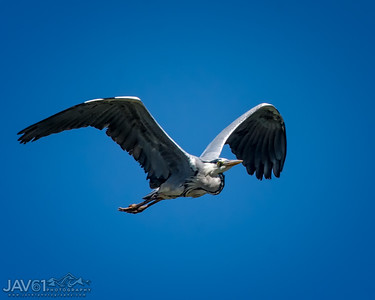 Gray Heron-8990