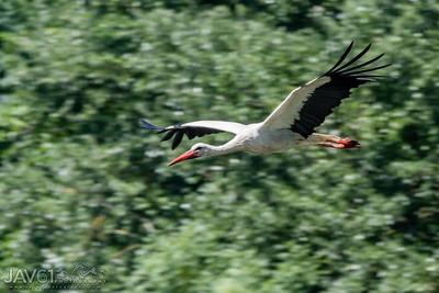 White Stork_9086