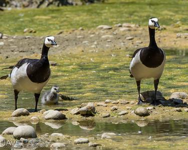 Barnacle Goose-9037