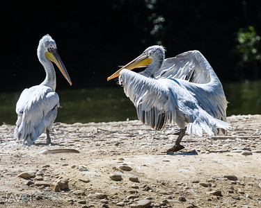 Dalmation pelican-9262