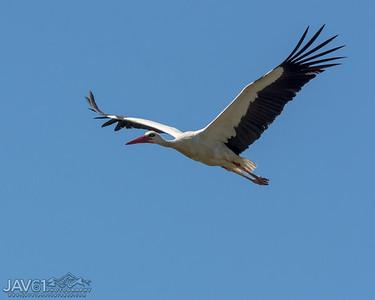 White Stork_9112