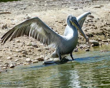 Dalmation pelican-9241