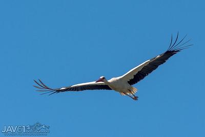 White Stork_107