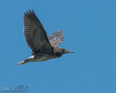 Black-crowned night heron-9104