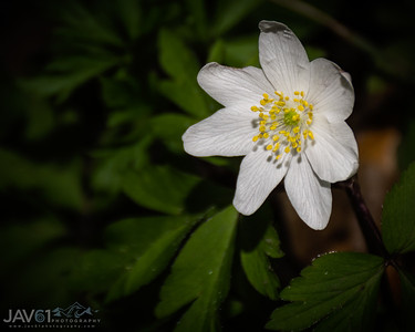 Crowfoot - Anemone nemorosa-6371