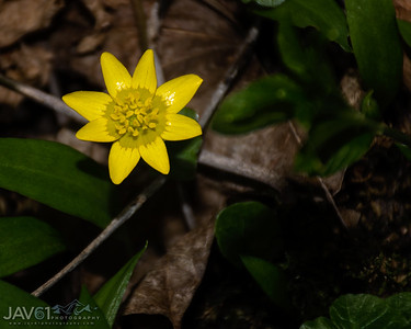 Fig buttercup-6342