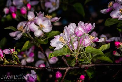 Appleblossom_6418