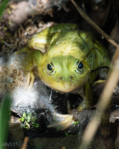 Green_frog_7116