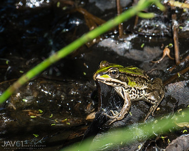 Green_frog_7099