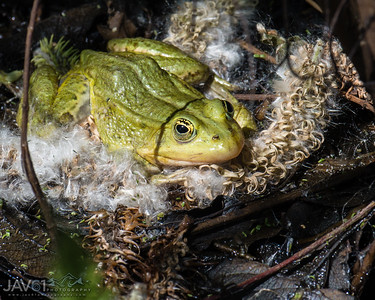 Green_frog_7130