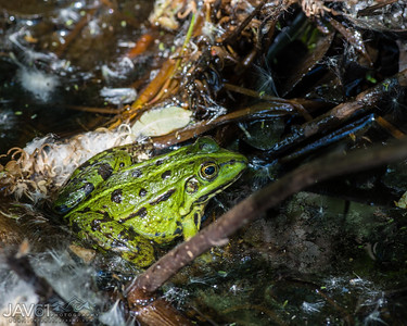 Green_frog_7112
