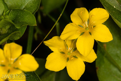 Yellow Pimpernel_7293