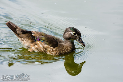 Wood duck female-9804