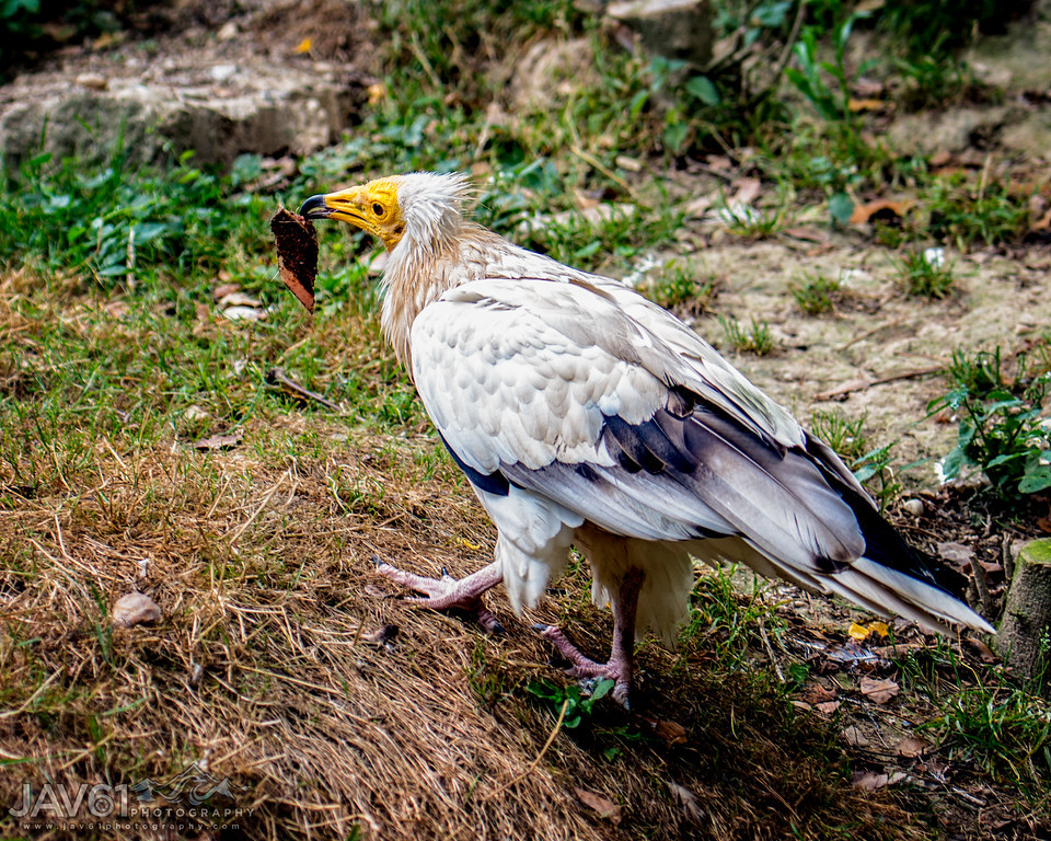 Egyption vulture carrying meal