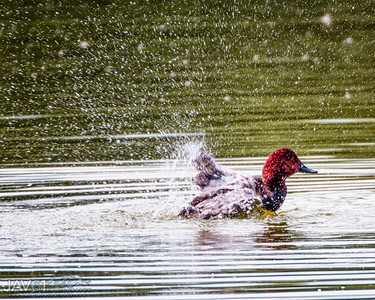 Red-crested pochard-9800-Edit