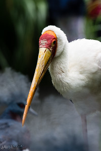 Yellow-billed stork-9573