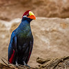 Violet turaco-9969