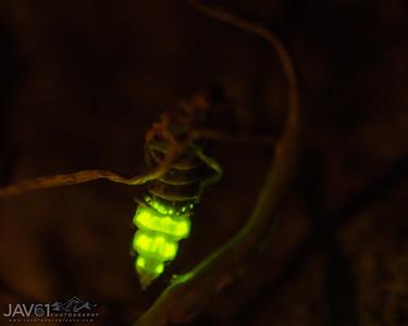Lampyris noctiluca_Glow Worm-9395