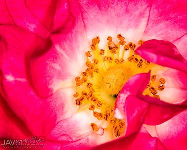 Rose_7763