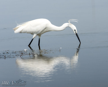 Little egret-8792