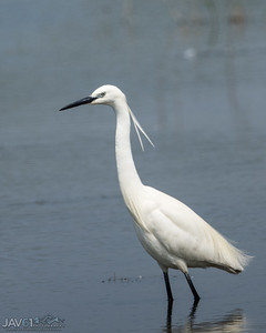 Little egret_8796