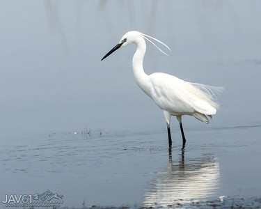 Little egret-8794